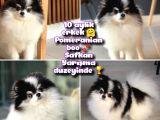 Pomeranian boo Yetişkin Safkan Yarışma duzeyinde