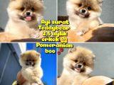 Pomeranian boo Tedbear Ayısurat A plus  Safkan Yarışma duzeyinde