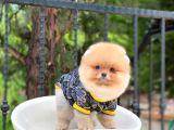 DİŞi SCRLİ  Mükemmel Renkteki Pomeranian Boo Yavrumuz