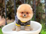 Dişi Orjinal SCRLi Pomeranian Boo Yavrular