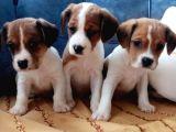 Show kalite beagle