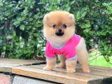 Sahibinden en tatlı ırk Pomeranian Boo