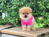 Pomeranian Mini Yavrumuz Yeni Ailesini Bekliyor