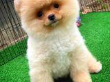 Süper Oyuncu Pomeranian Yavrularımız