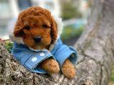 Muazzam Güzellikte Red Brown poodle