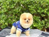 Dişi Orjinal Pomeranian Boo Kızımız