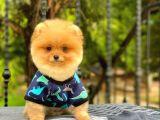 Show Kalite Oranj Pomeranian Boo Kızımız