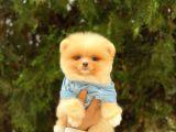 Show Kalite Oranj Pomeranian Boo