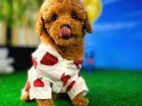 En fazla 3 kg olan Show kalite Dişi Toy Poodle Yavru Patiler'den