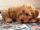 Dark apricot toy poodle erkek yavru @catboyssss da
