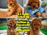 Toy Poodle Safkan Apricot Brown Yavru Oğlumuz FINDIK / Yavrupatiler