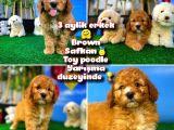 Toy Poodle Safkan Brown Yavru Oğlumuz Kereviz / Yavrupatiler