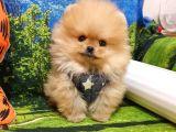 Safkan Teddy Face Pomeranian Boo Yavrularımız
