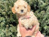Apricot toy poodle yavrumuz @catboyssss da