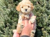 Sevimli apricot toy poodle yavrumuz @catboyssss da