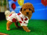 Toy Poodle Tatlılığı