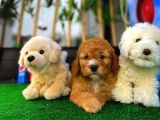 Candostum Toy Poodle yavrumuz