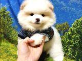 Safkan Sağlıklı Pomeranian Boo Yavrularımız