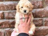 Dişi ve erkek apricot toy poodle yavrular @catboyssss da
