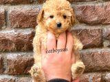 Tüy dökmeyen koku yapmayan apricot toy poodle yavru @catboyssss da
