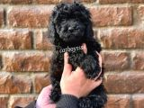 Siyah (black) dişi toy poodle yavru @catboyssss da