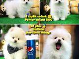 Yarışma Adayı Beyaz plus seri Orjinal Pomeranian BOO