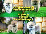 A plus Özel seri Basık burun Ayı surat BOO Safkan Pomeranian oğlumuz Dony