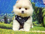 Satılık Pomeranian Boo Yavrularımız