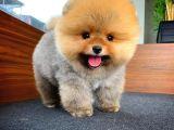 AA Kalite Safkan  Pomeranian Oğlumuz SODA