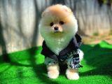 ELİTPATİCİKLER den AB pasaportlu Teddy Face Pomeranian