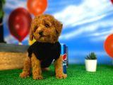 Red Brown 3 Aylık Toy Poodle Yavrumuz  CARLOS