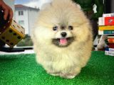 AA Kalite Tcup Yakışıklı Pomeranian Oğlumuz FANTA