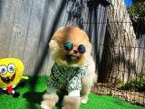 Ayı Surat Pomeranian Boo Oğlumuz JORDAN