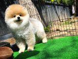 Gülen Surat Yakışıklı Pomeranian Boo Oğlumuz HARİBO