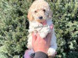 Sağlık ve ırk garantili erkek apricot toy poodle @catboyssss da