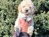 Irk ve sağlık garantili erkek apricot toy poodle @catboyssss da