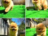 Orjinal Pomeranian Yavrularımız