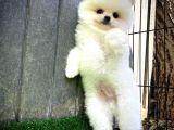 Beyaz ufak Boy Pomeranian Yavrularımız