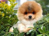 Veteriner kontrollü Karneli Pomeranian Boo yavrumuz