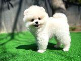 Irk garantili Muhteşem surat ve tüy yapısına sahip Pomeranian yavrumuz