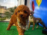Baby face minyatür toy poodle yavrumuz