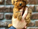 Red brown mini toy poodle erkek yavru @catboyssss da