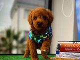 Safkan Red Brown Toy poodle oğlumuz Tody@yavrupatiler