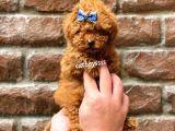Red brown erkek toy poodle yavrumuz @catboyssss da