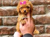 Red brown dişi toy poodle yavrumuz @catboyssss da
