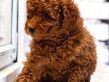 Red brown toy poodle microchipli pasaportlu