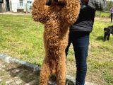 Standart poodle dev poodle yavruları türkiyede tek