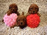 Bebek surat basık burun her renk tea cup ve toy poodle