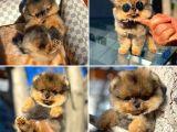 Teddy Bear Safkan Pomeranian Boo Yavrularımız