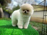 Sevimli Sempatik Pomeranian Boo Oğlumuz LALA